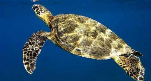 Tartaruga marina spiaggiata al Lido Venezia