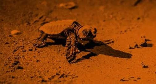 tartaruga appena nata