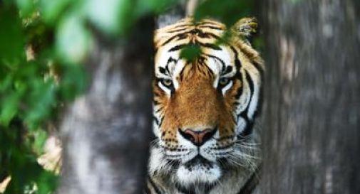 Tigre uccide dipendente dello zoo di Zurigo