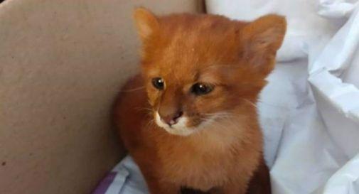 Trova un gattino abbandonato e lo adotta: dopo 2 mesi scopre che è un puma