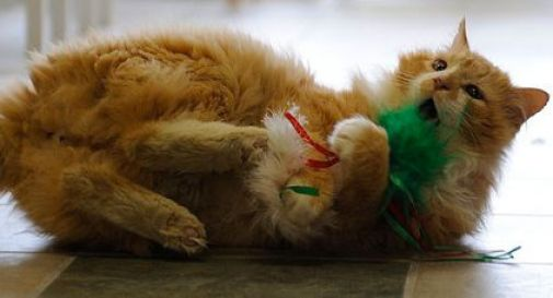 Abbandonano il gatto, lui percorre 19 km da solo per tornare dalla sua famiglia. Ma questa vuole fargli l'iniezione fatale