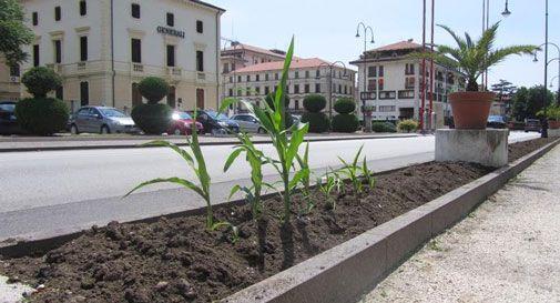 Polemica sul mais in centro a Vittorio Veneto, arriva la risposta degli operai comunali