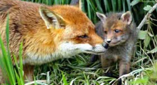Consiglio di Stato: stop allo sterminio di volpi