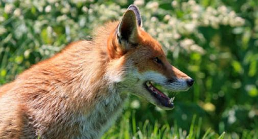 Tenta di colpire una volpe, scivola e si spara da solo: morto
