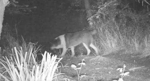 Grossi cani liberi sulle colline di Conegliano: